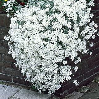 Seeds-a-Plenty Cerastium Tomentosum Snow In Summer Yo Yo Flowers - 25+ Seeds