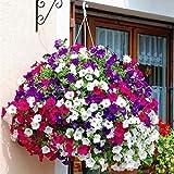 200 semi di petunia misti colorati copertura del terreno mattutino gloria fiorente appeso telaio fiore decorato per giardino balcone piantare
