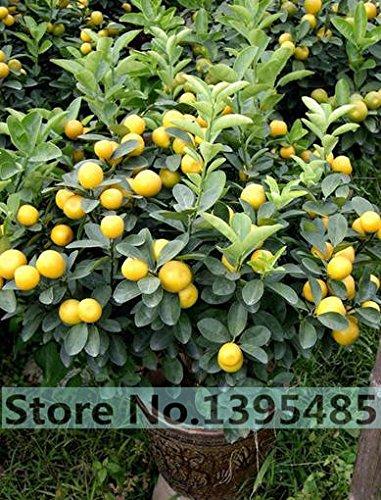 20pcs / semences sac, balcon patio arbres fruitiers en pot plantés, les graines de kumquat, les graines d'orange, mandarine, agrume,