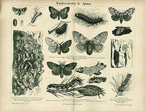 Waldverderber, Kiefernspinner, Schwalmspinner u.a. .Antiker Stich von 1874.