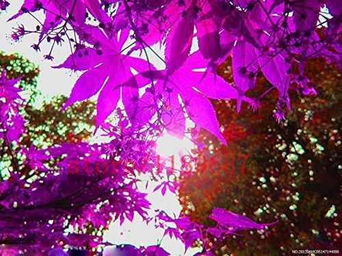 20 PCS érable pourpre graines d'arbres mini-bonsaï graines de fleur d'érable canada maison jardin plantation