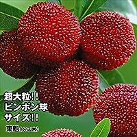 ヤマモモ東魁(メス木) 3株(庭木の種類)