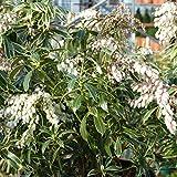 Pieris Japonica Flaming Silver - Pieris Flaming Silver Plant in 9 cm Pot
