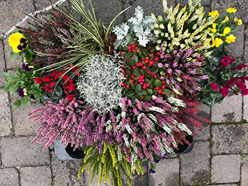 Herbst Blumen Super Set Set Nr.12 Calluna vulgaris Trios Milka & Wildbeery, Knospenheide, Viola, Scheinbeere, Silberblatt, Stacheldraht.....