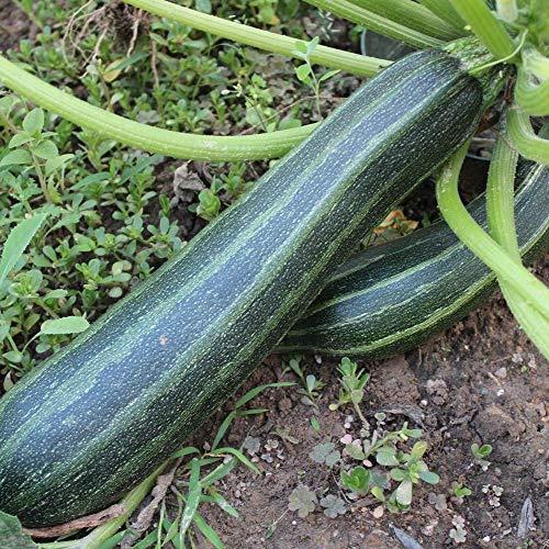Samen für ca. 10 Pflanzen Coucourzelle Zucchini - gestreifte Früchte, ertragreich