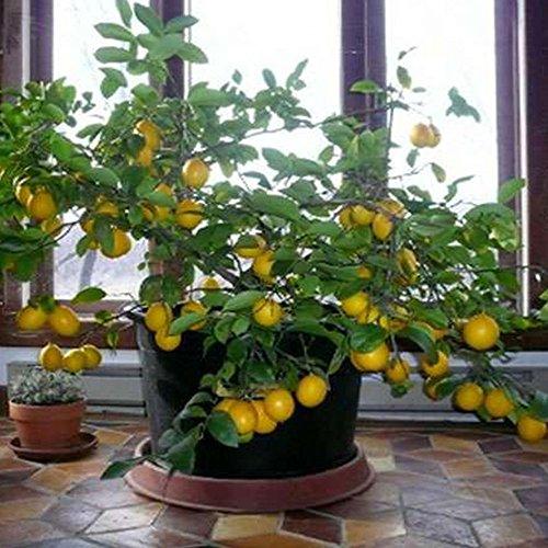 Zitronenbaum Samen Hausgarten Indoor Outdoor Obst Pflanzensamen - 10 stücke