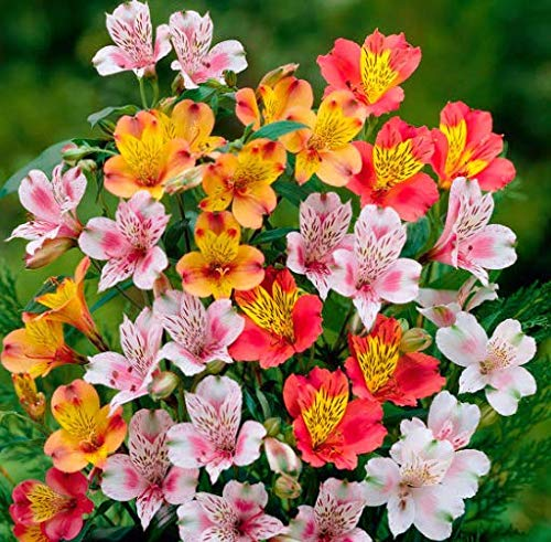 Alstroemeria Inkalilie Mix 12 bis 100 Samen Lilie Peruvian Lily seeds
