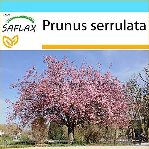 SAFLAX - Kit cadeau - Cerisier du Japon - 30 graines - Prunus serrulata