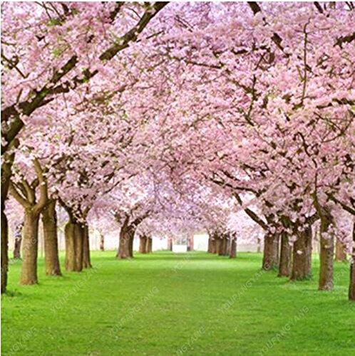 20 Pcs/sac japonais Sakura arbre Graines Bonsai Fleur de fleurs de cerisier Livraison gratuite ornement-Plante vivace Fleurs Jardin Blanc