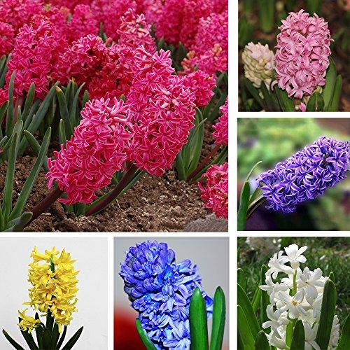good01 300 Stück Hyazinthen Blumensamen | Hausgarten Mehrjährige Blumenpflanzen Topf Bonsai Decor Gelb