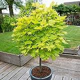 YouGarden Acer Shirasawanaum Aureum, 3 Litre Potted Plant