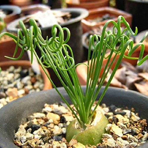 60 PCS / sac Largeur Feuillage Printemps herbe Graines Jardin des Plantes Rares intéressants Balcon Plante en pot Spiral herbe bonsaï Seeds