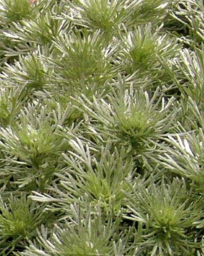 Wermut Absinth mehrjährig Höhe bis 90 cm Samen