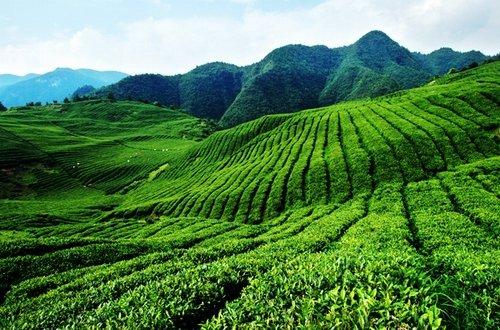 5pcs / lot chinois Graines de thé vert Arbre Bonsai plantes bricolage santé emballage Bonsai Tea Tree jardin Professional