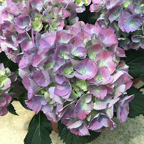 Hortensia Planta Natural - Maceta 17cm - altura total aprox. 50cm. - Planta viva - (Envíos sólo a Península)