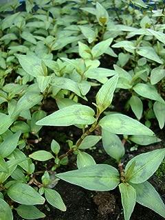 FERRY Graines Bio Seulement Pas de Plantes Kaneshin a vu pour Les Mini bonsa/ïs shohin Main No.84A Made in Japan