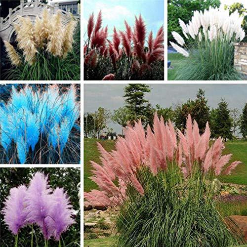 Pampas Samen, 100Pcs / Beutel Pampas-Gras-Samen-Kraut Non GMO Bunten Bonsai Garten Blumensamen für Balkon