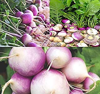 1 lb (180,000+ Seeds) Purple Top White Globe Turnip Seeds - Greens Contains Even More nutrients - 50 Days Until Harvest - Non-GMO Seeds by MySeeds.Co (1 lb Purple Top White Globe Turnip)