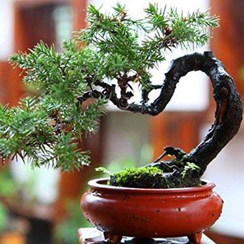 20 pcs/sac Graines de pin noir vert graines bonsaï plantes Pinus thunbergii Parl pour les plantes ligneuses vivaces droites de jardin à la maison 5