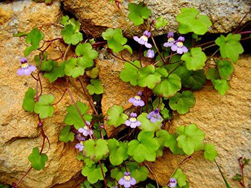 Zimbelkraut Cymbalaria muralis 100 Samen