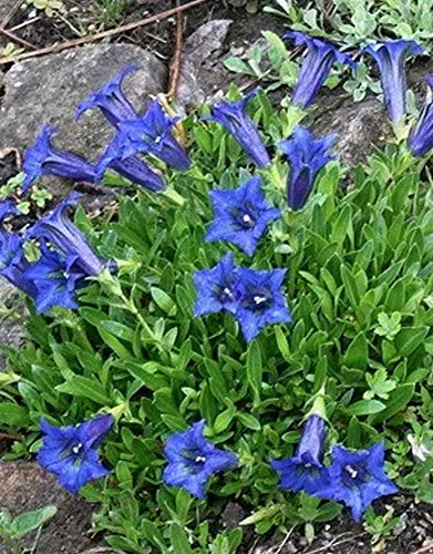 Rarität Exotische Gentiana Enzian Blumensamen, Blau Alpenblumen Enzian Samen Blaukissen Bodendecker Pflanzen Teppiche Herbstenzian Saatgut Topfpflanze für Balkon Terrasse