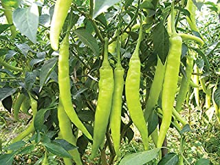 HOT !! - 100% Original Thai Long Green Chili Seed Organic 90 Seeds
