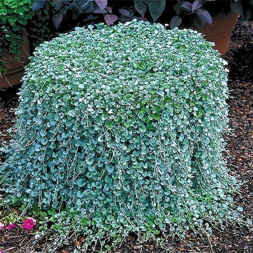 Green Seeds Co. 2016 100pcs / Dichondra Repens plantes à gazon l'herbe d'argent suspendus des plantes de jardin décoratives font des plantes à fleurs pour le jardin de la maison: rouge