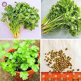 Semillas Semillas de cilantro 100pcs de la herencia All