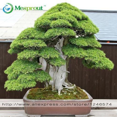 graines Bonsai 30 pcs japonais cèdre rouge - Cryptomeria graines japonica - Arbre à feuilles persistantes Bonsai Bonsai jardinage Accueil,