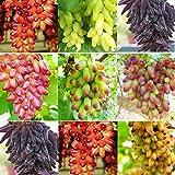Yukio Samenhaus - 50 Stück Tafel-Trauben-Kollektion Saatgut Hofpflanzen Souvenir Weinrebe Obstsamen Winterhart bis -20°C