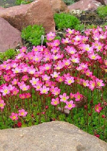 Tropica - Steingarten - Moos-Steinbrech (Saxifraga x arendsii) - 100 Samen