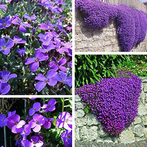 100pcs Purple Flower Aubrieta Hybrida Seeds Garden Perennial Ground Cover  Plant / 100pcs Garden Purple Flower Aubrieta Hybrida Seeds . . Aubrieta