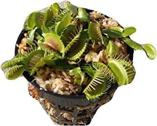 3 Small Sized B52 Giant Venus Flytraps - Fly Trap - (Dionaea Muscipula) Carnivorous Plant 3 inch pot