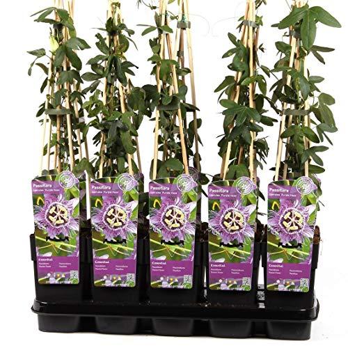 Winterharte Passionsblume Passiflora Purple Haze 60-70 cm - exotische Schönheit - mehrjährige Kletterpflanze