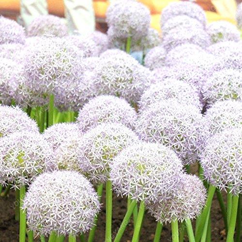100 pcs blanc oignon Graines beau balcon Graines Allium vivaces en pot Graines Bonsai ornement
