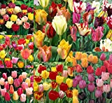 50 Spring Eternal Tulip Mixture by FlowersofTomorrow