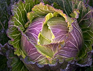 50 Seeds Cabbage 'January King No 3