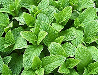 100+ Kentucky Colonel Mint Seeds ORGANICALLY Grown Heirloom Non-GMO Fragrant Rare! Fragrant, US Grown!