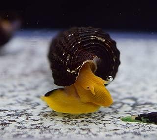 Siam Live Aquarium 1 Orange POSO Rabbit Snail Moss Java Shrimp