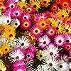 Tappeti Magici Semi Mixed - Mesembryanthemum criniflorum #3
