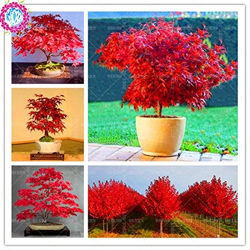 10 pcs / sac Mini belles graines Graines d'érable rouge japonais Bonsai ornement Diy fleur plante en pot Plantes de jardin intérieur Arbre de semences
