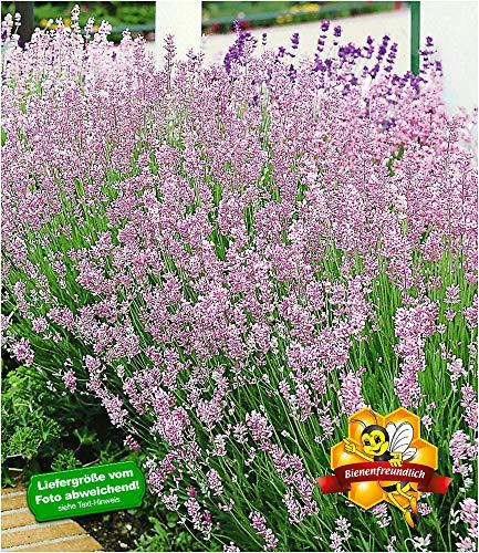 BALDUR Garten Duft-Lavendel 'Rosa' echter Lavendel, 3 Pflanzen Lavandula angustifolia Duftlavendel