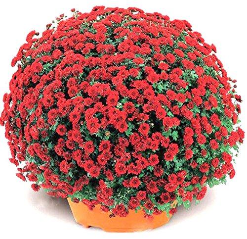 100pcs / sac couvre-sol graines de chrysanthèmes, graines de fleurs vivaces bonsaïs chrysanthème plante en pot marguerite pour le jardin à la maison verte
