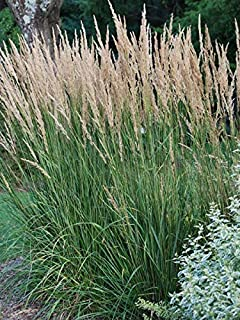Perennial Farm Marketplace Calamagrostis a. 'Karl Foerster' (Feather Reed) Ornamental Grasses, Size-#1 Container, Yellow S...