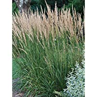 Perennial Farm Marketplace Calamagrostis a. 'Karl Foerster' (Feather Reed) Ornamental Grasses, Size-#1 Container, Yellow Spikes