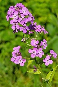 Dame's Rocket Flower Seeds,1000 Heirloom Flower Seeds Per Packet, Non GMO Seeds, (Isla's Garden Seeds), Scientific Name: Hesperis matronalis