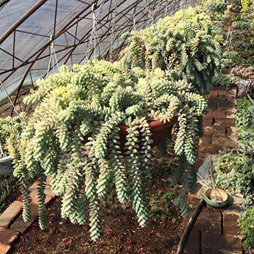 100 Unids Sedum Burrito Moran Semillas, Jardín Jardín Suculenta Planta Techo Balcón Decoración Semillas Sedum Burrito Moran