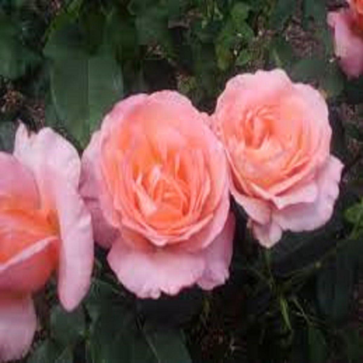 Patchouli Rose Fragrance Popular popular Oil - 16 OZ LB Fees free for SOAP 1 Candle M