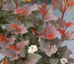 Ginger Wine Ninebark 4 INCI Pot Physocarpus Proven Winners AG002