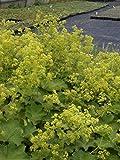 Alchemilla mollis - Frauenmantel, 50 Pflanzen im 5/6 cm Topf